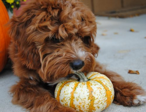 10 Benefits Of Pumpkin For Your Dog